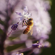 Selling Photos Buying Photos Online Prints - Bee Collects Nectar 5 Print by Benny  Woodoo