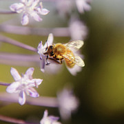 Selling Photos Buying Photos Online Prints - Bee Collects Nectar 6 Print by Benny  Woodoo