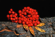 Sandra Bronstein - Berries and Bark