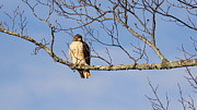 Red Tail Hawk Photographs Posters - Big Red Poster by Travis Truelove