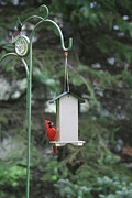 Richelieu Prints - Bird Feeder 03 Print by Thomas Woolworth