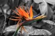 David Dunham - Bird Of Paradise 1 - colorized