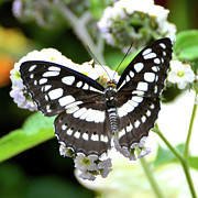 Butterfly Prints Artwork Photo Acrylic Prints - Black and White Butterfly Acrylic Print by Jason Waugh
