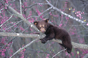 Alan and Sandy Carey and Photo Researchers - Black Bear Cub on Branch