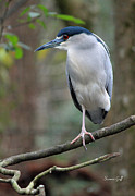 Suzanne Gaff - Black Crowned Night Heron III