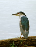 Michael Peychich - Black Crowned Night Heron