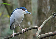 Suzanne Gaff - Black Crowned Night Heron