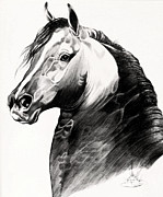 Horses Drawings - Black Morgan Stallion by Cheryl Poland