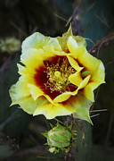 Saija  Lehtonen - Black-Spined Prickly Pear