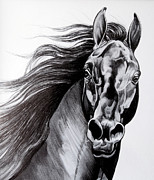 Drawing Of A Horse Head Framed Prints - Black Standardbred Stallion Framed Print by Cheryl Poland