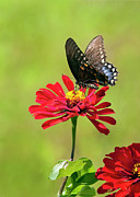 Sue Baker Art - Black Swallowtail and Red Zinnia by Sue Baker