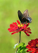 Sue Baker Art - Black Swallowtail resting on a Red Zinnia by Sue Baker