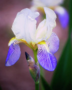 Shawn Bamberg - Blooming Iris