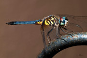 Christopher Holmes - Blue and Gold Dragonfly