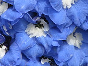 Blue Delphinium Photos - Blue Delphinium by Michele Penner