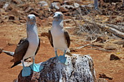 Sami Sarkis - Blue-footed Boobies on rock