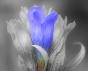 Blue Gentian Flower Partial Color Fine Art Print by Smilin Eyes Treasures
