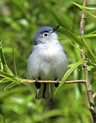 Birds - Blue-gray Gnatcatcher DSB147 by Gerry Gantt