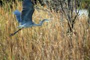 Cathy  Beharriell - Blue Heron Flight