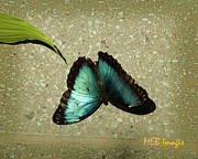 Bugs And Insects - Blue Morpho 1 by Margaret Buchanan