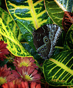 Bugs And Insects - Blue Morpho Butterfly by Margaret Buchanan