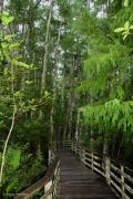 Barbara Bowen - Boardwalk through the Bald Cypress...