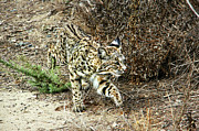 Bobcat Photos - Bobcat Stalking Prey by Mariola Bitner