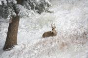Mike Hendren - Buck in the Snow