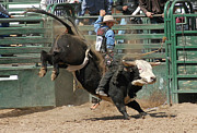 Bulls Art - Bucking Bulls 101 by Cheryl Poland