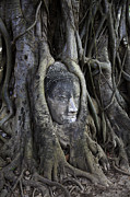 Adrian Evans - Buddha Head in Tree
