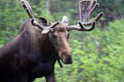 Cathy  Beharriell - Bull Moose in the Rain