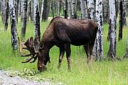 Cathy  Beharriell - Bull Moose in the Woods