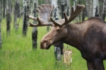 Cathy  Beharriell - Bull Moose Portrait