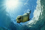 Franco Banfi and Photo Researchers - Californian Sea Lion