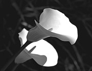 Jennie Marie Schell - Calla Lilies in Black and White