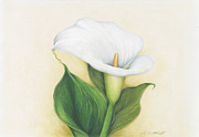 Easter Flowers Drawings Posters - Calla Lily Poster by Heather Mitchell