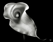 Calla Lily Posters - Calla Lily in Black and White Poster by Endre Balogh