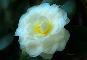 Theaceae Posters - Camellia By Night Poster by Zeana Romanovna