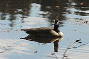 Birds Of Wells Mills Prints Posters - Canada Goose 173 Poster by Joyce StJames
