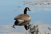 Birds Of Wells Mills Prints Posters - Canada Goose 176 Poster by Joyce StJames