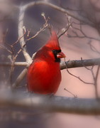 Feeding Photographs Prints - Cardinal - Unafraid Print by Travis Truelove