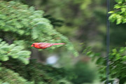 Richelieu Prints - Cardinal in Flight Print by Thomas Woolworth