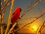 Barry Jones - Cardinal Sunrise
