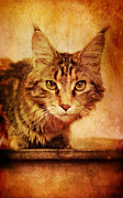 Staring Eyes Acrylic Prints - Cat Looking Sinister Acrylic Print by Jill Battaglia