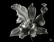Flower Photos Prints - Catalea Orchid in Black and White Print by Endre Balogh
