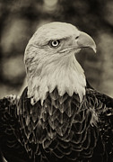 Animals - Challenger the Bald Eagle by Robert Ullmann