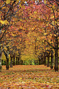 Where To Buy Magic Autumn Color On Canvas Posters - Cherry Tree Plantation Poster by Bruno Santoro