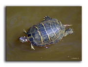 Chin Up Posters - Chester River Turtle Poster by Brian Wallace