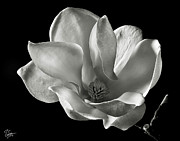 Flower Photos Photos - Chinese Magnolia by Endre Balogh