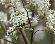 Chipping Sparrow Prints - Chipping Sparrow in Blooming Serviceberry Bush Print by Kevin Shank Family